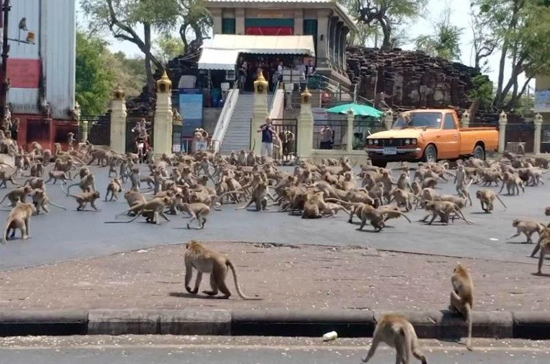 Efectos del coronavirus cientos de monos pelean por un solo plátano ante la falta de visitantes en Tailandia