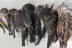 Aves muertas en Nuevo México