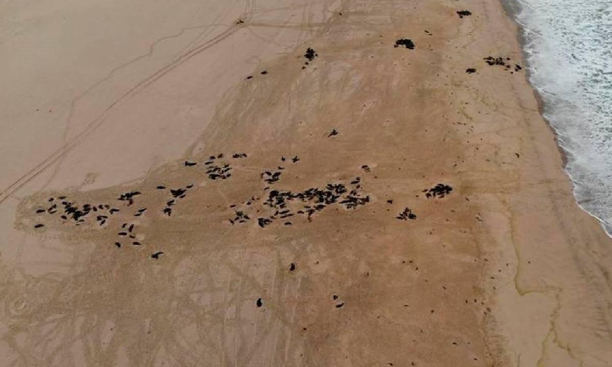 Focas muertas en Namibia