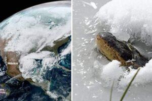 Caimanes se vieron congelados mientras el clima invernal golpea el 73% de EEUU