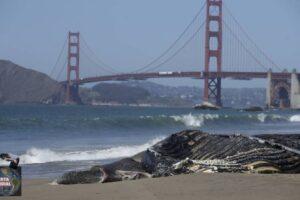 Las muertes recientes de ballenas en el área de la bahía preocupan a los científicos