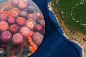 Aseguran que un desastre podría ocurrir tras aparición de cientos de medusas en playa del Perú (VIDEO)